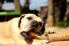 Boerboel Fotos de Stock Royalty Free