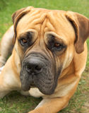 Boerboel Photographie stock