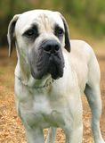 Boerboel dog Royalty Free Stock Image