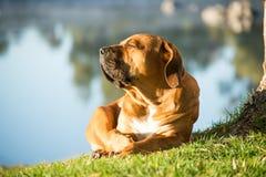 Free Boerboel Dog Enjoying Morning Sun Stock Image - 77064191