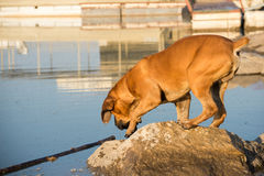 Boerboel dog fetching stick in water Stock Photography