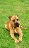 Boerboel dog Royalty Free Stock Photos