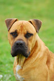 Boerboel dog head portrait royalty free stock photography