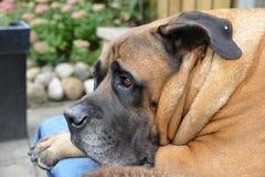 Boerboel dog Stock Photos