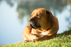 Boerboel dog by the river. A young male boerboell dog lies on the grass in the early morning by the river stock photo