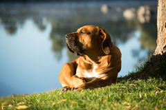 Boerboel dog by the river. A young male boerbull dog lies under a Weeping Willow tree by the river with it's head lifted high Stock Photos