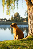 Boerboel dog sitting on river bank Stock Photography