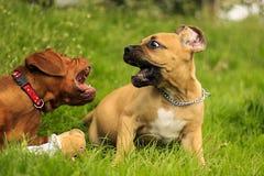 Boerboel en Dogue de Bordeaux valp Royaltyfri Bild