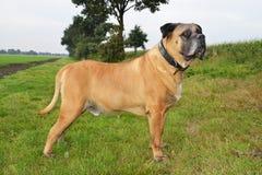 Boerboel hund Royaltyfria Bilder