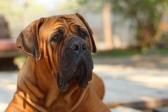 Boerboel hund Arkivfoto