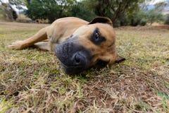 Boerboel hund Royaltyfri Bild