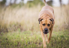 Boerboel hund Royaltyfri Foto