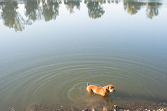 Boerboel hund i floden Fotografering för Bildbyråer