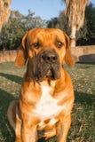 Boerboel hund på gräsmatta Royaltyfri Fotografi