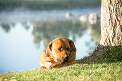 Boerboel hund som ligger på flodbanken Royaltyfri Fotografi