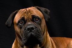 Boerboel Male Dog. A full adult male BoerBoel Dog from South Africa Royalty Free Stock Photography