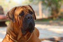 Boerboel pies Zdjęcie Stock