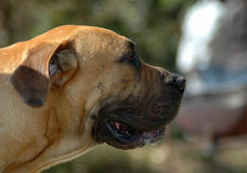 Boerboel profile. A beautiful strong African Boerboel dog head profile portrait with tired expression in the face watching other dogs in the park outdoors Royalty Free Stock Photo