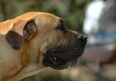 Boerboel profile Royalty Free Stock Photo