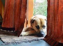 Boerboel przy drzwi fotografia stock