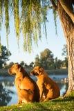 Boerboel psy rzeką Zdjęcia Stock