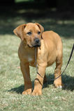 Boerboel puppy. A beautiful little Boerboel dog puppy with cute and sad expression in the pretty face istanding and watching other dogs in the park outdoors Stock Photos