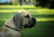 Boerboel puppy Royalty Free Stock Image