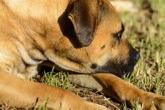 Boerboels Стоковое фото RF