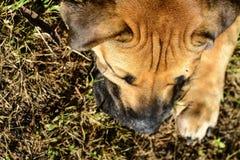 Boerboels Стоковое Фото