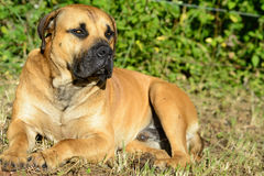 Boerboels Obrazy Stock