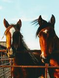 Boerderijpaarden Stock Fotografie