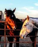 Boerderijpaarden stock foto's
