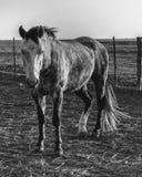 Boerderijpaarden Stock Afbeeldingen
