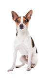 Boerenfox dog Stock Images