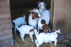 Boerengeiten en jonge geitjes in pen stock foto's
