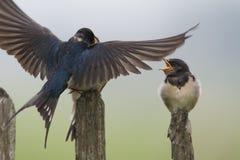 Boerenzwaluw; Andorinha de celeiro; Rustica do Hirundo fotografia de stock royalty free