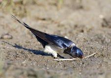 Boerenzwaluw, andorinha de celeiro, rustica do Hirundo fotografia de stock royalty free