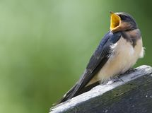 Boerenzwaluw, Barn Swallow, Hirundo rustica. Boerenzwaluw juveniel bedelend om voer Nederland; Barn Swallow juvenile begging for food Netherlands stock photography