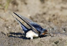Boerenzwaluw, Barn Swallow, Hirundo rustica. Boerenzwaluw modder verzamelend voor zijn nest; Barn Swallow gathering mud for its nest stock image