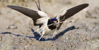 Boerenzwaluw, Barn Swallow, Hirundo rustica stock images