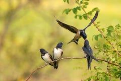 Boerenzwaluw Hirundo-rustica tijdens de vlucht voedend haar nestvogel royalty-vrije stock afbeeldingen