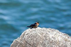 Boerenzwaluw neergestreken op een rots royalty-vrije stock foto's