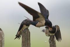 Boerenzwaluw; Trago de granero; Rustica del Hirundo fotografía de archivo