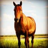 Boerperd-Pferd Lizenzfreie Stockfotos