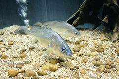 Boeseman croaker,smallscale croaker,Boesemania microlepis. This is a relatively large species. It can reach 1 m 3.3 ft in length and 18 kg 40 lb in weight Royalty Free Stock Photo