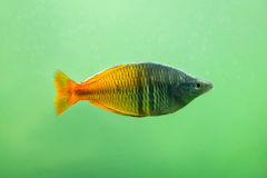 Boeseman`s rainbowfish Melanotaenia boesemani. Royalty Free Stock Photos