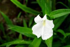 Boesenbergia alba, Caulokaempferia K alba Larsen y R M SM o Imagenes de archivo
