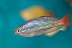 boesman rybia tęcza s Zdjęcie Stock