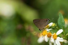 Boeticus de Lampides Fotos de Stock