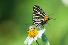 Boeticus de Lampides Foto de Stock Royalty Free